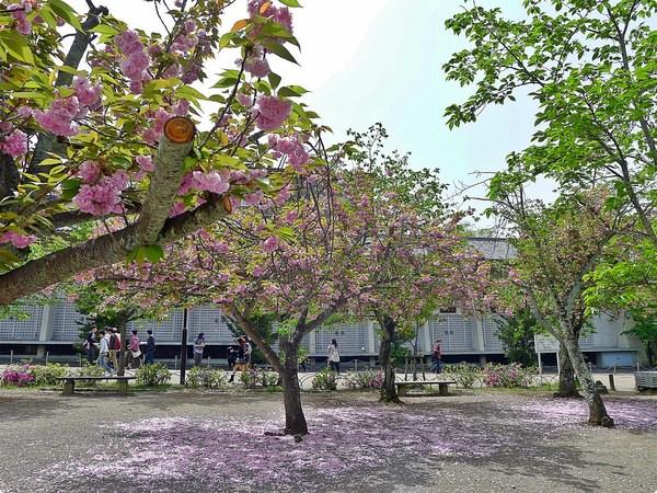 [日本遊誌]Kyoto:円山公園(まるやまこうえん)、大谷本廟、大雲院(祇園閣)、八坂塔等
