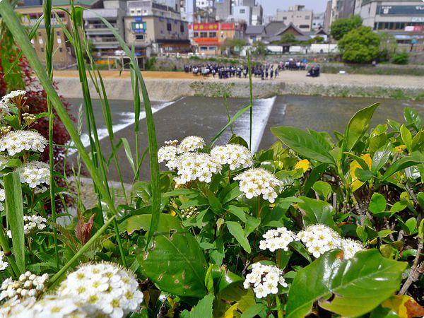 [日本遊誌]Kyoto:鴨川(かもがわ)、三條大橋(さんじょうおおはし)、四條大橋(しじょうおおはし)