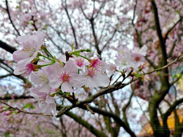 [遊誌]新北市.淡水無極天元宮賞櫻 Tamshui Tian-Yuan Temple Cherry Blossom Festival