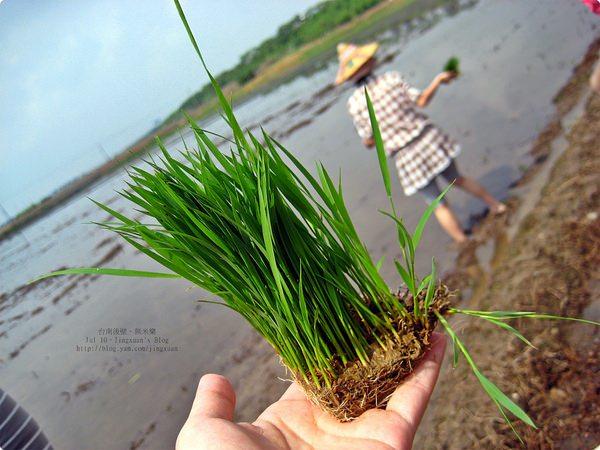 [遊誌]台南後壁.菁寮社區.冠軍米(台農71號,亦稱益全香米)種植體驗 Rice Plant at Tainan Hou Pi